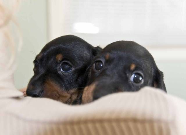 Peek A Boo Doberman Puppies I Can T Wait To Get Our Little Girl