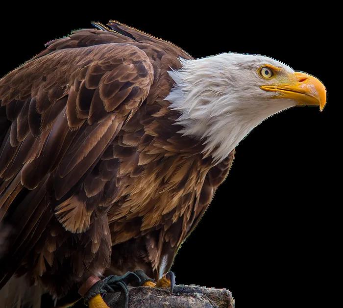 Adler Png Transparent Image 1 Free Pik Psd Bald Eagle White Tailed Eagle Eagle Images