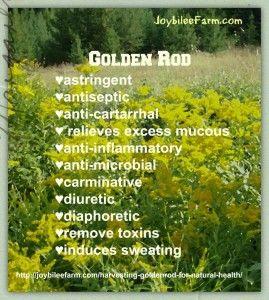 Goldenrod For Natural Health Joybilee Farm Diy Herbs Gardening Herbs Herbal Healing Herbs For Health