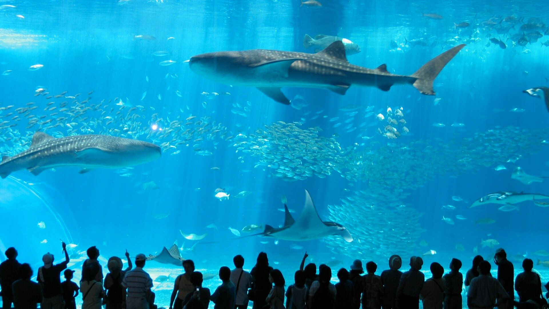 Okinawa Churaumi Aquarium Japan | ♥Wanderlust♥ | Okinawa ...