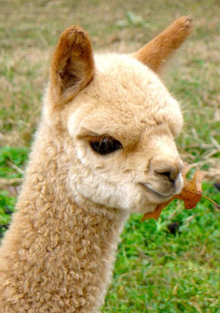 A Few Things To Admire With Images Cute Alpaca Cute