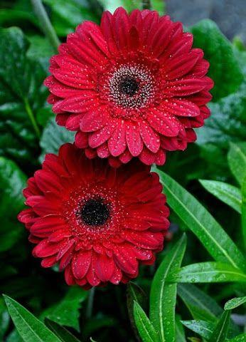 Pin By Irina Luchinecka On Kviti Gerbera Flower Beautiful Flowers Love Flowers