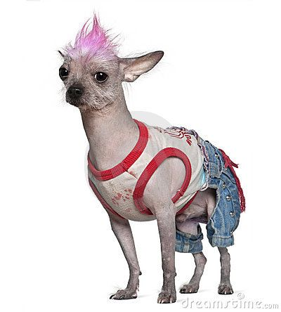 Pictures Gallery Of Mexican Hairless Dog Xoloitzcuintli Breed Information History The Mexic
