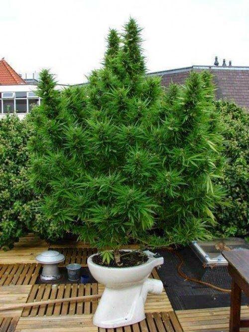 Pin En Cultivo Cannabis