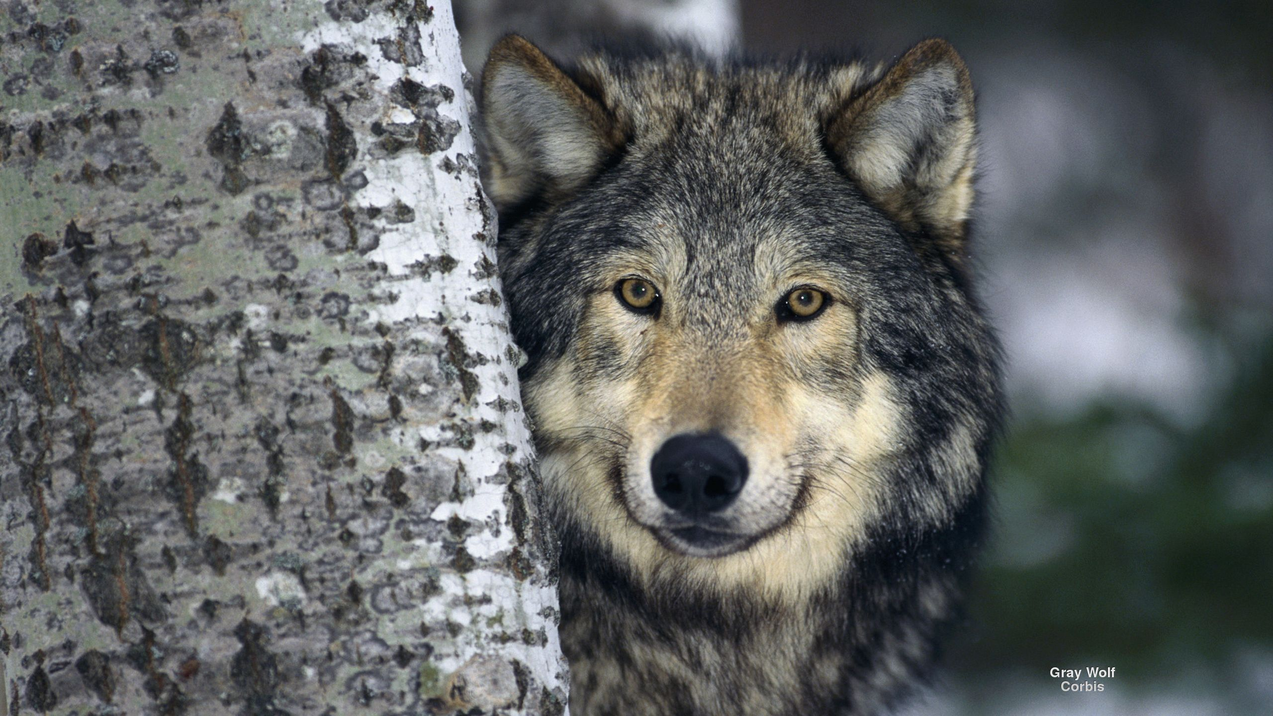 Popular Wallpaper Angry Gray Wolf - 3f1d21988d2f60c60008af183a97f1cc  Photograph_664014      .jpg