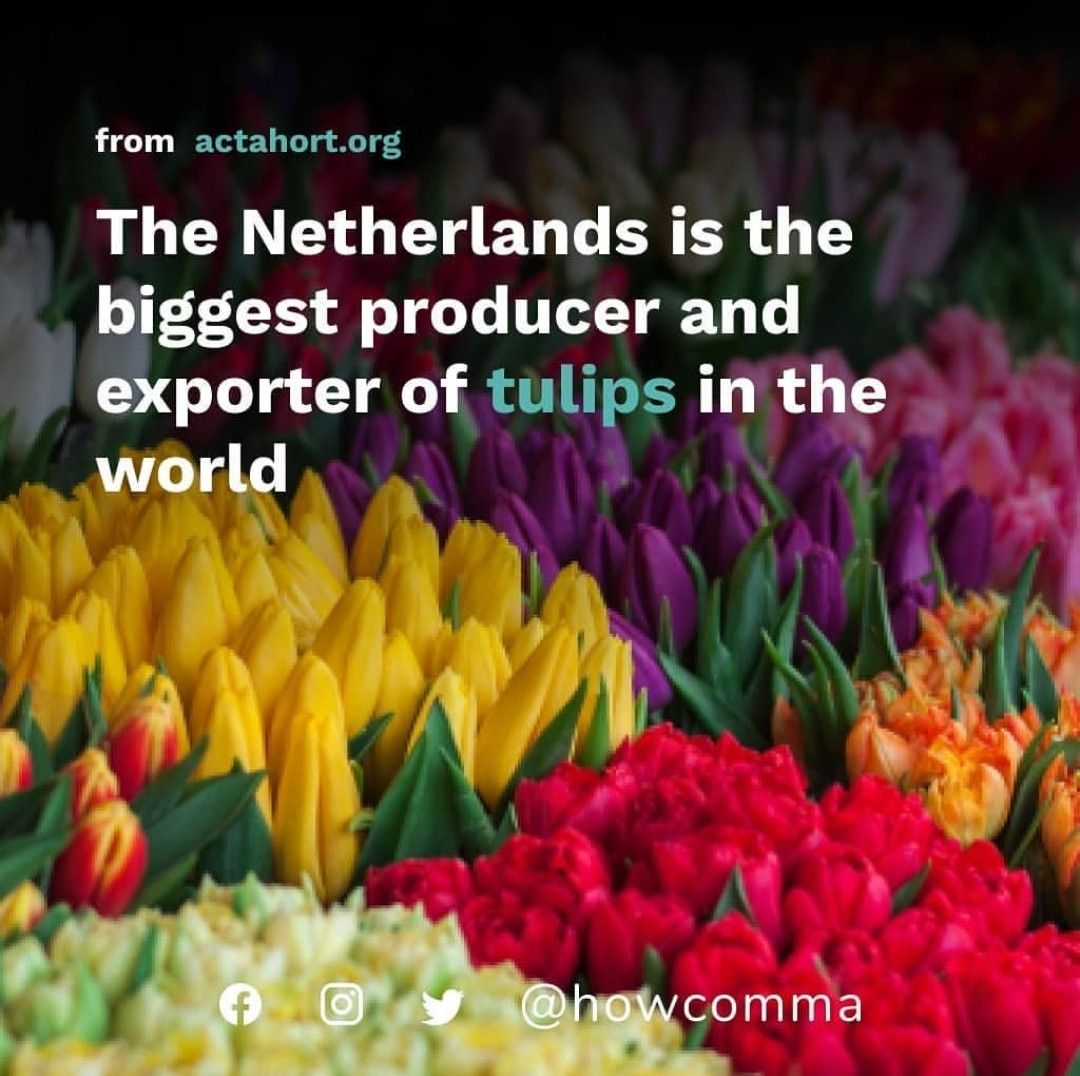 Facts About Tulip Flower In 2020 Tulips Tulips Flowers Tulip Bulbs