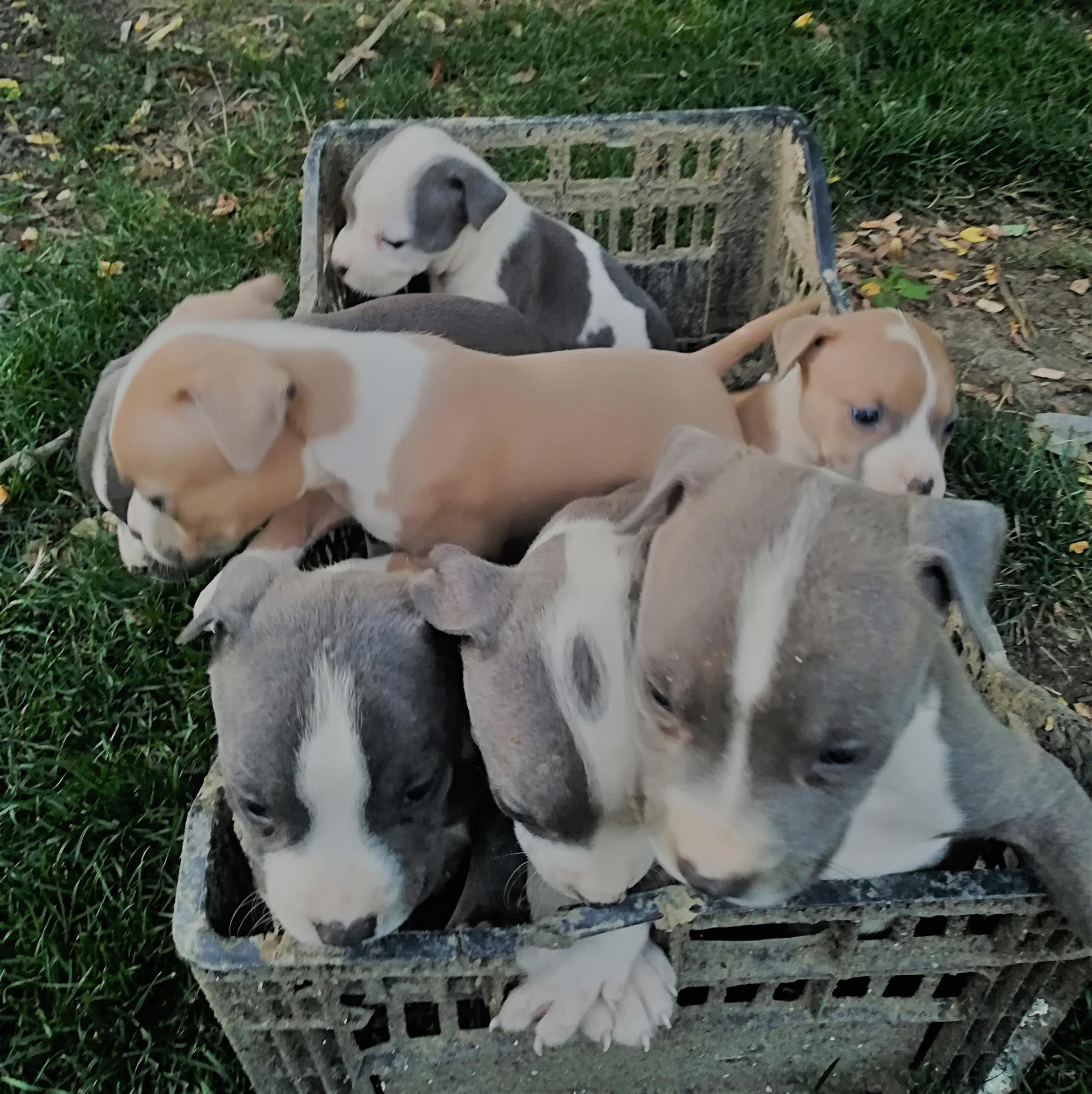 Elado Fajtatiszta Amerikai Staffordshire Terrier Kiskutyak Junius