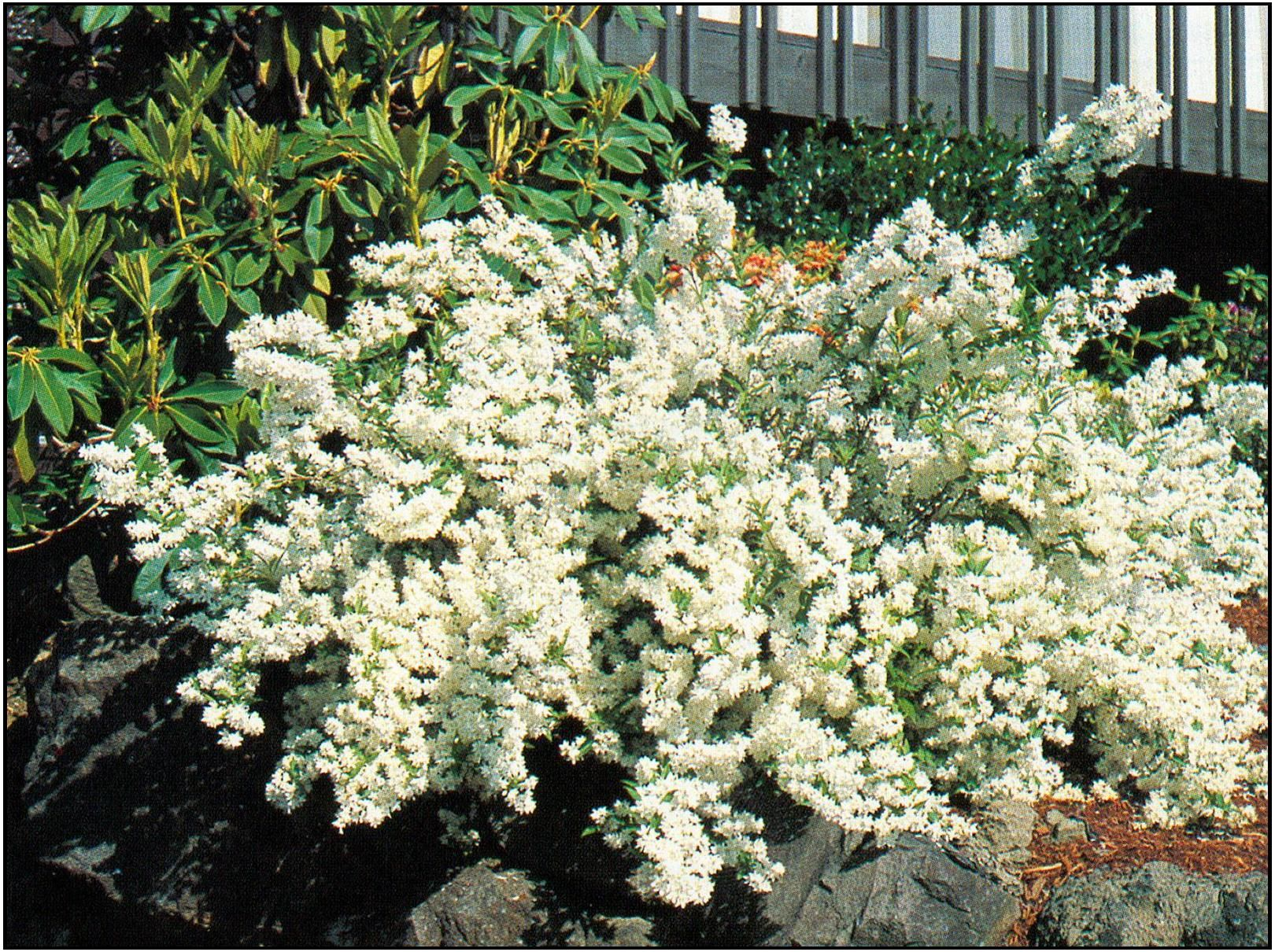 Shrubs with purple flowers at end of branch - Double White Deutzia High Wide Small Shrub With A Dense Upright Habit And A Showy Display Of Pure White Flowers In Spring On Gracefully Arching Branches