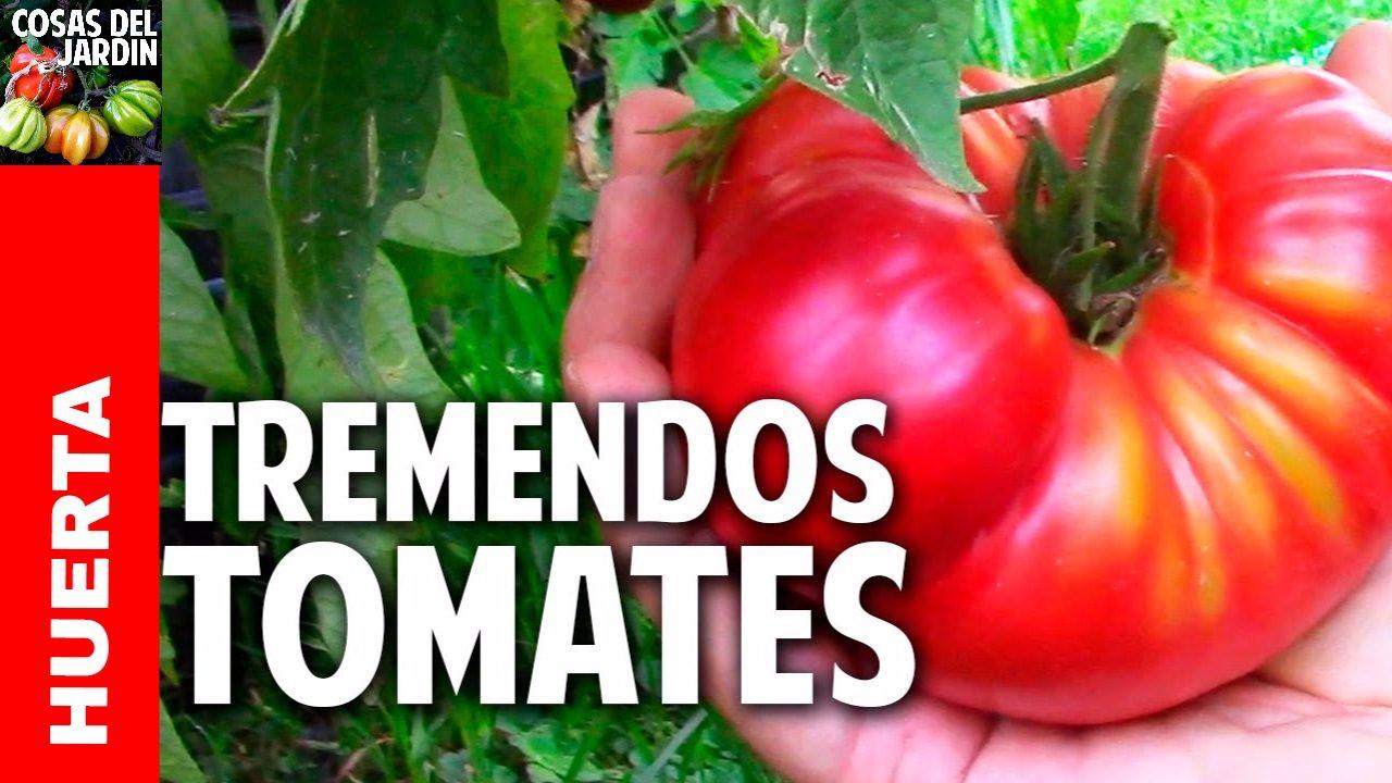 12 Trucos Para Cultivar Tremendos Tomates Poda Y Fertilizaci N  ~ Como Cultivar Tomates En El Huerto