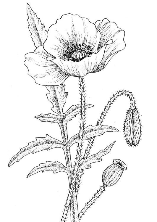 Coloring Page Poppy Img 9777 Poppy Drawing Flower Drawing Poppy Coloring Page