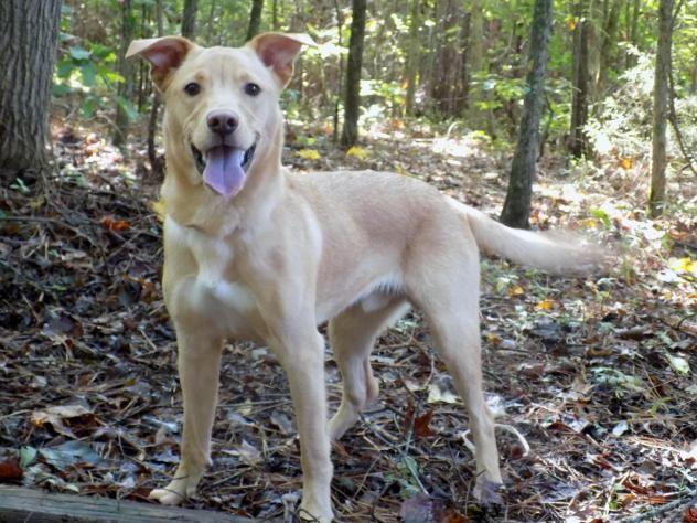 Adopt Cool Whip On Petfinder Yellow Labrador Retriever Labrador Retriever Mix Retriever Mix