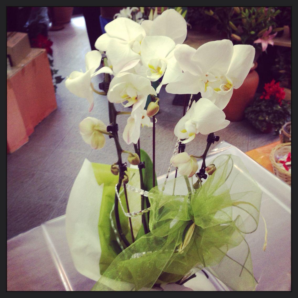 Pianta di orchidea pronta per un compleanno a padova for Orchidea pianta