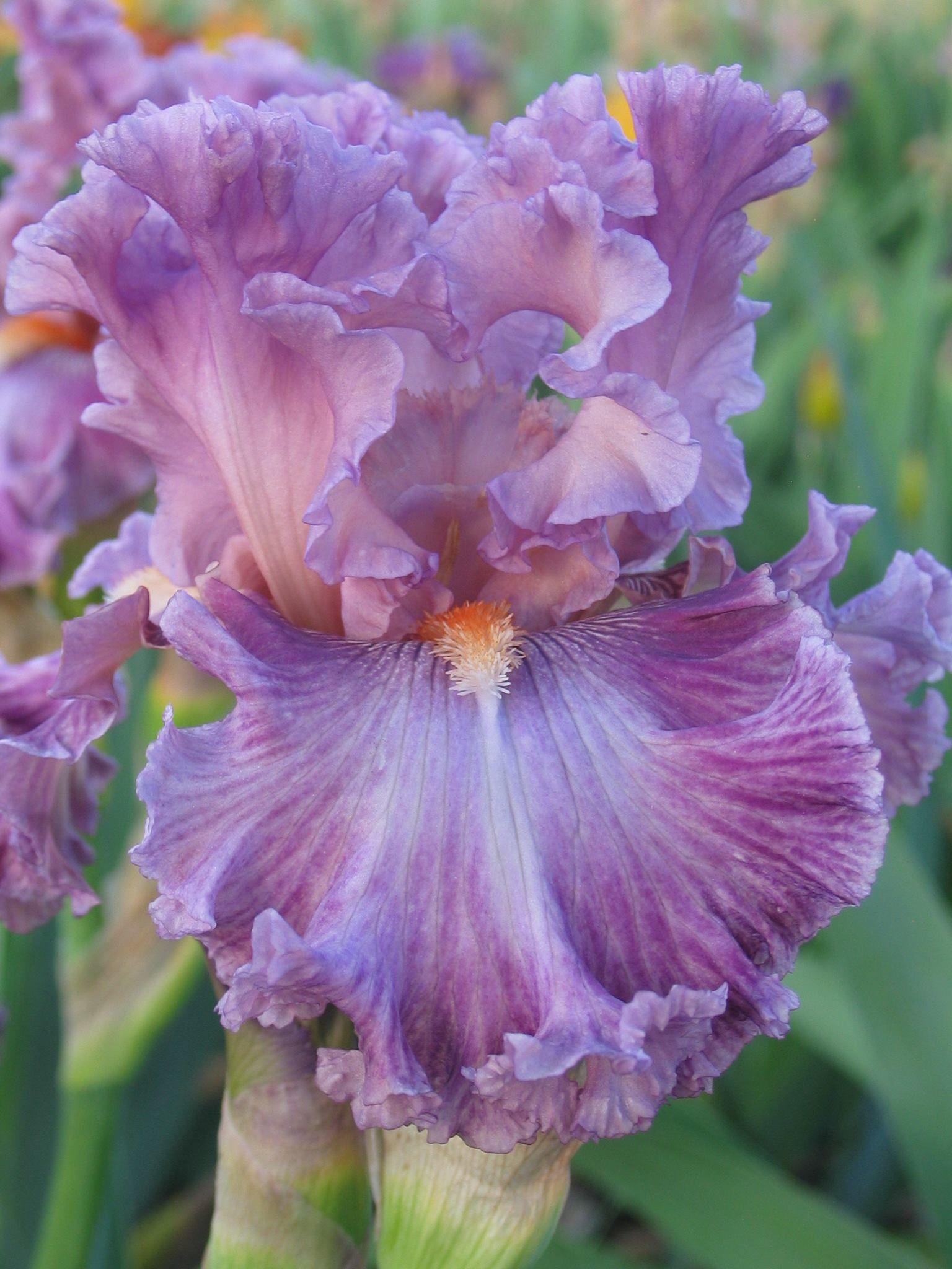 just witchery blyth 11 blumen pinterest iris lilien und pflanzen. Black Bedroom Furniture Sets. Home Design Ideas
