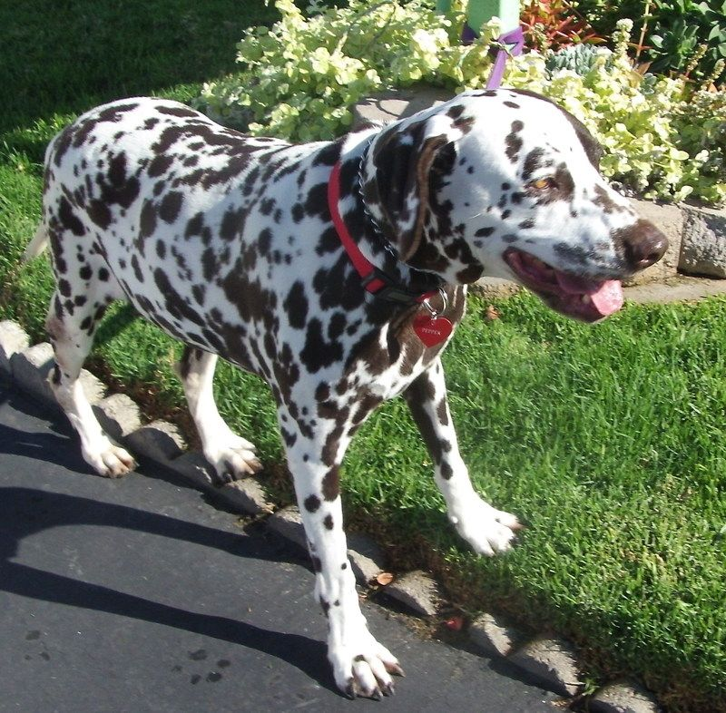 HI!  My name is Pepper.  I'm a gorgeous chocolate spotted dalmatian girl about 6 years old who was dumped by her family in the high kill Castaic shelter.   Luckily for me, the shelter staff made everyone aware of my predicament and Rescue came and...