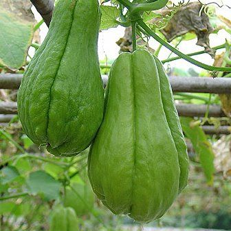 Growing Choko Chayote With Images Fruit Plants Fruit Trees