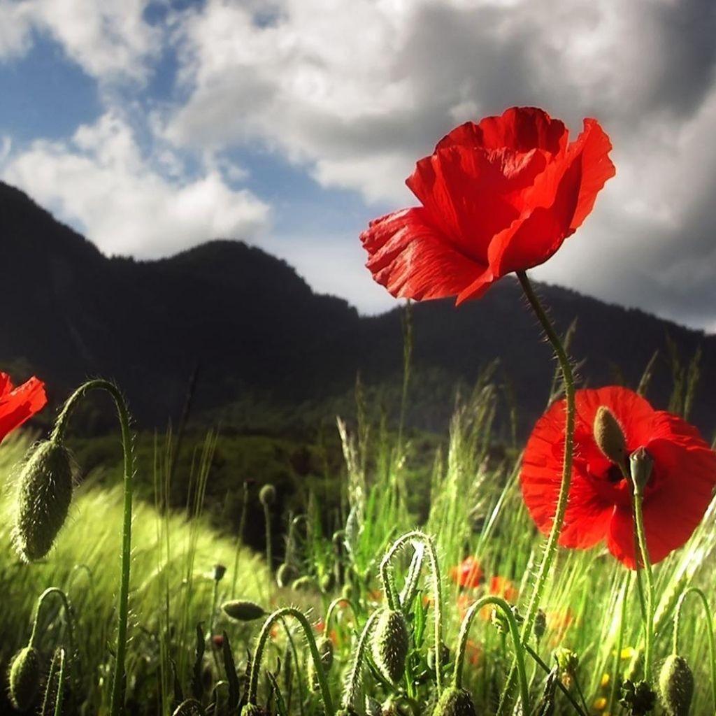 Znalezione Obrazy Dla Zapytania Buchete De Flori La Multi Ani Color Splash Hintergrundbilder Natur Rote Mohnblumen