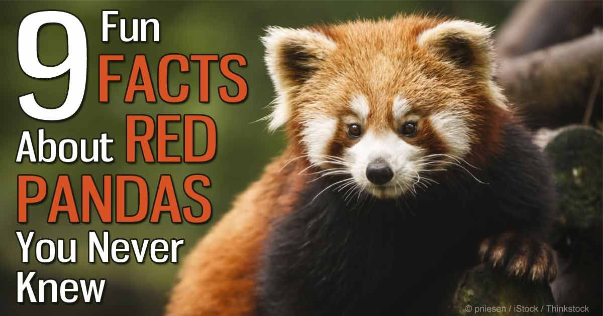 Red pandas are of the order Carnivora, making them carnivores, but ...