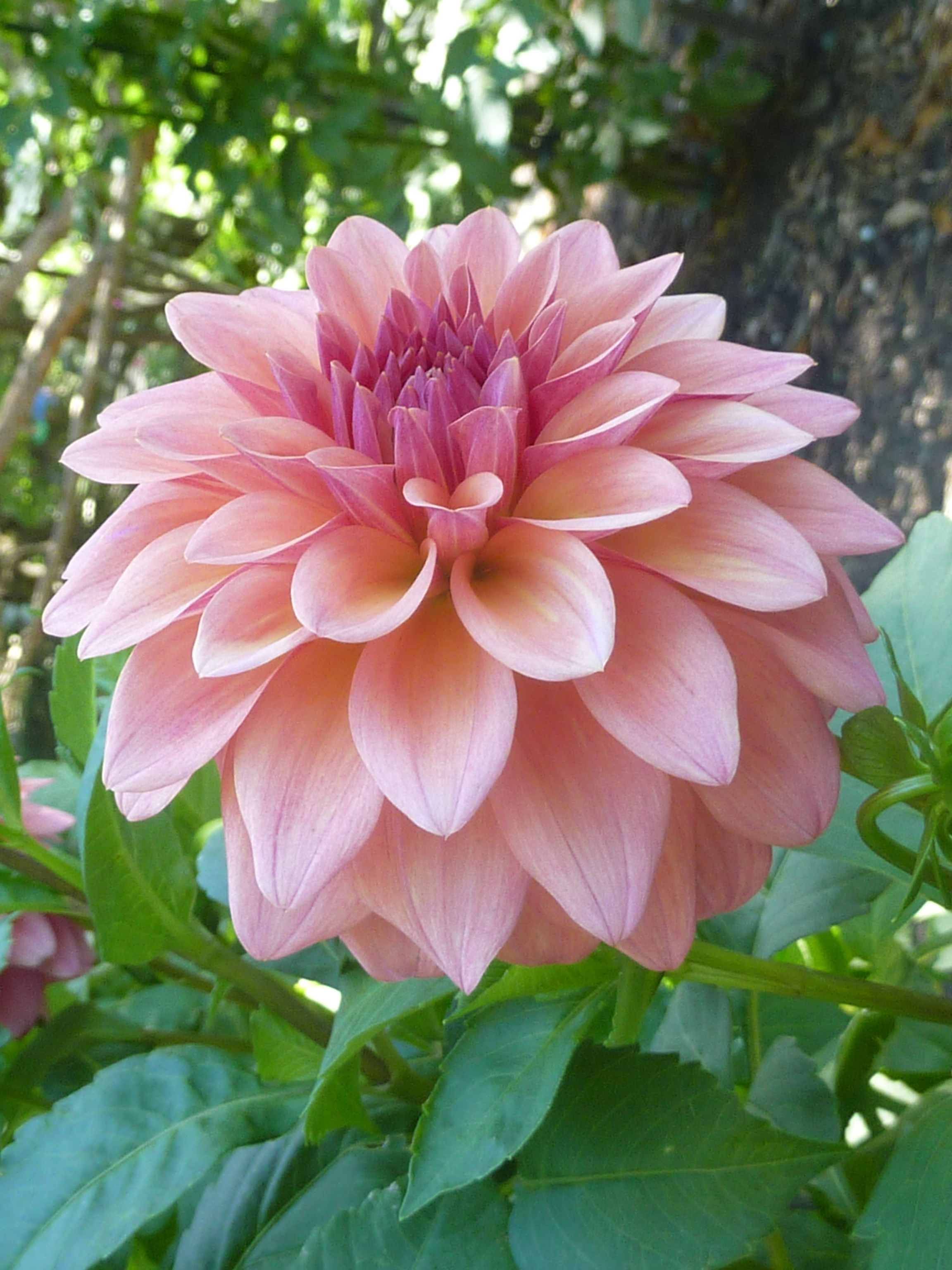 This Is The Perfect Pale Pink Into Mauvy Pink Dahlia Love Beautiful Flowers Dahlia Flower Love Flowers