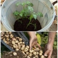 How To Grow Potatoes In A Pile Of Hay #patiodepapas