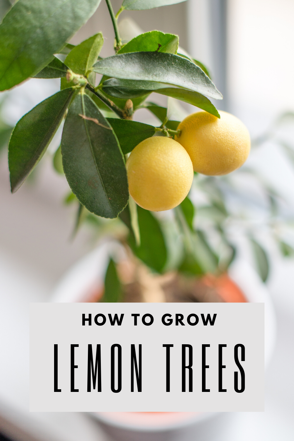 5 Easy Tips For Growing Lemon Trees How To Grow Lemon Lemon Tree From Seed Growing Lemon Trees