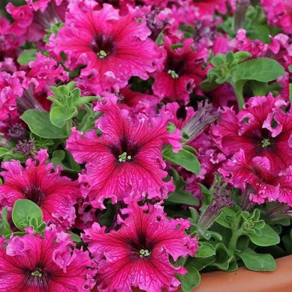 Flower Varieties For Hanging Baskets : Espresso frappe rose petunia pelleted seeds for