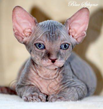 Sphynx Kittens Available Now Sphynx Kittens For Sale Kittens Sphynx Cat