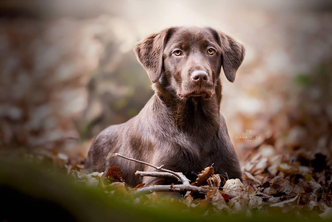 Elly Labrador Mischling Hundefoto Labrador Labrador Retriever Animals