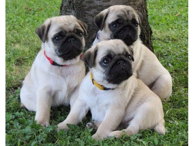 Gorgeouspugsforsale Pug Puppies Cute Pug Puppies Pugs For Sale