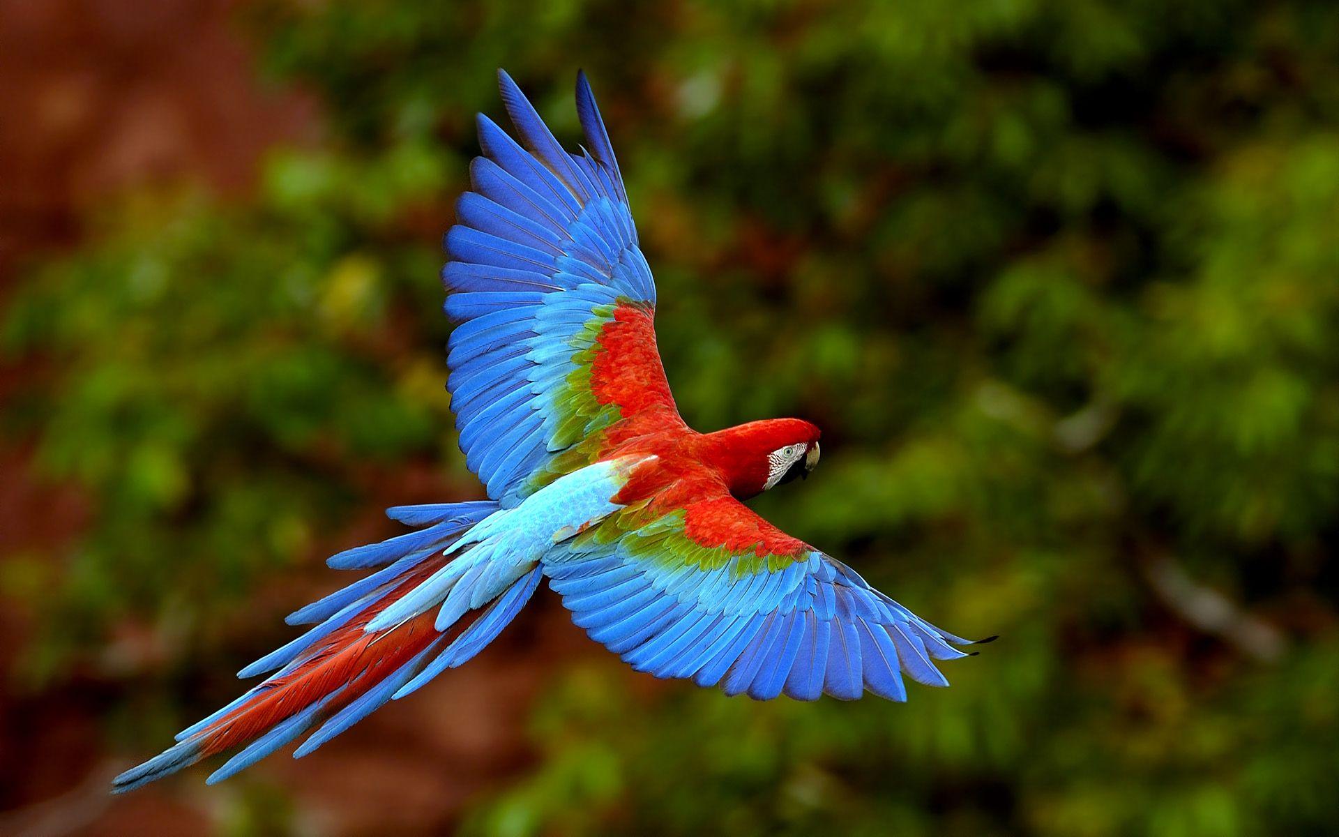 Pete Oxford - Arara Vermelha em vôo no Mato Grosso do Sul, Brasil (Red Macaw in flight at Mato Grosso do Sul, Brazil)