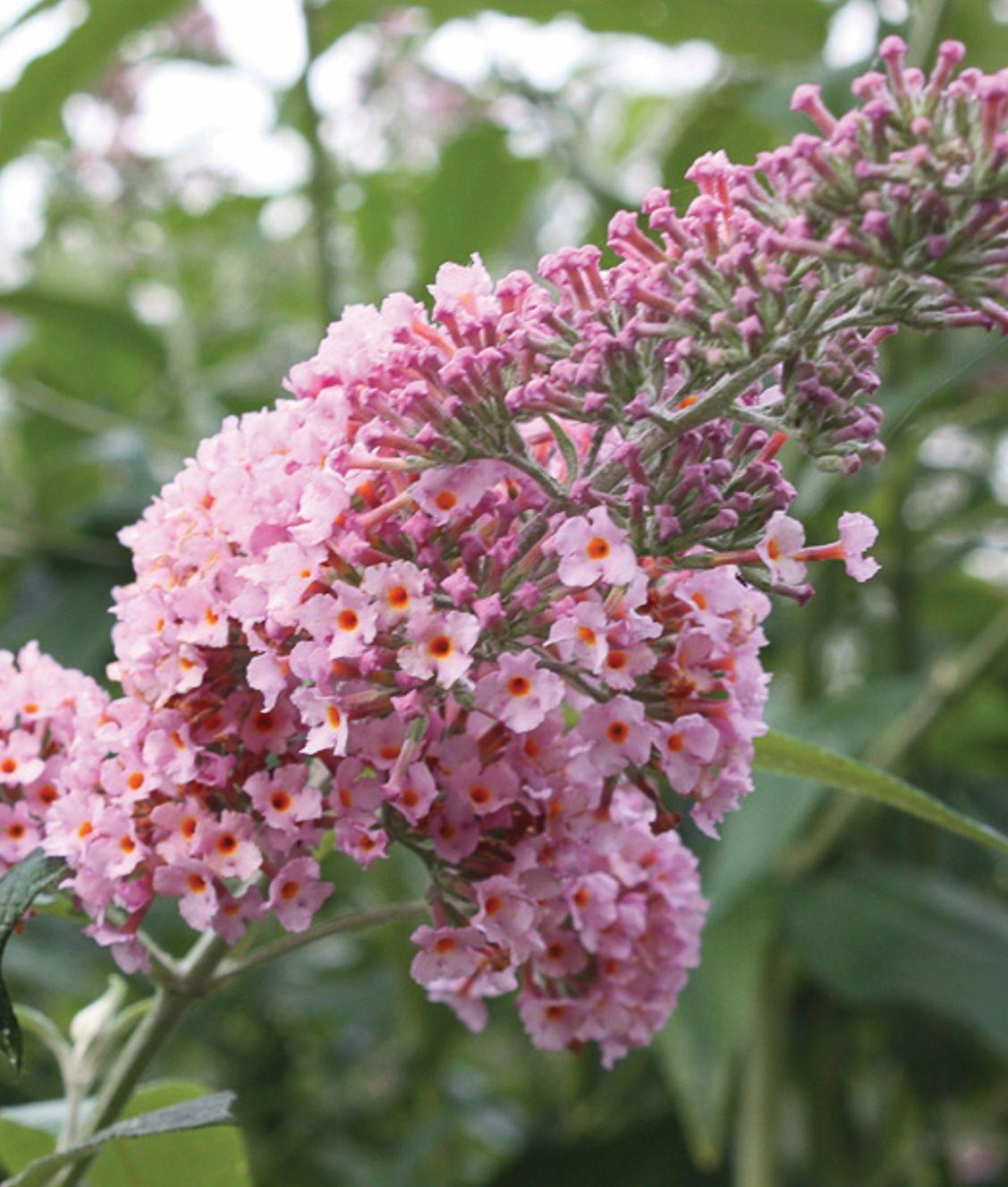 Inspired Pink Butterfly Bush Buddleia X Butterfly Bush Pollinator Garden Buddleia Plant