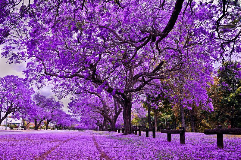 Yeu Thi Tran Of Purple Photography Creations Brisbane Jacaranda Tree Jacaranda Tree Garden Blossom Trees