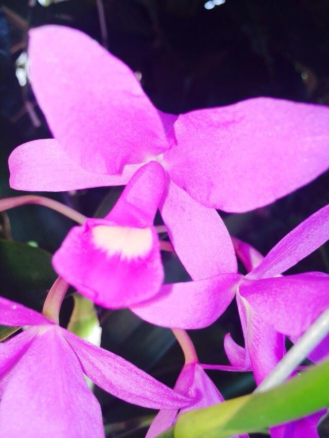 Guaria morada, la flor nacional