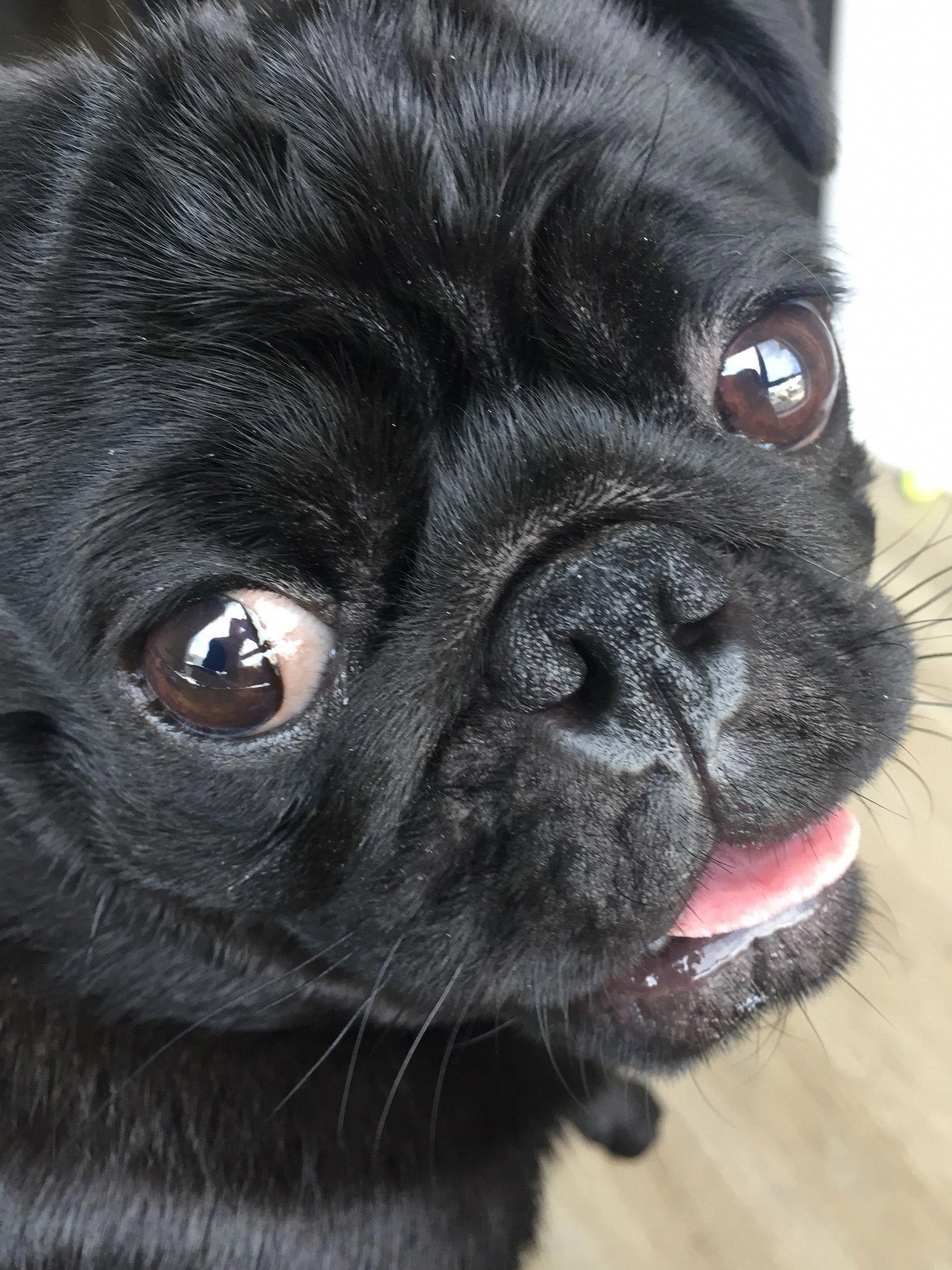 Baby Pug Dog Price In Chennai Black Pug Puppies Cute Pugs Baby Pug Dog