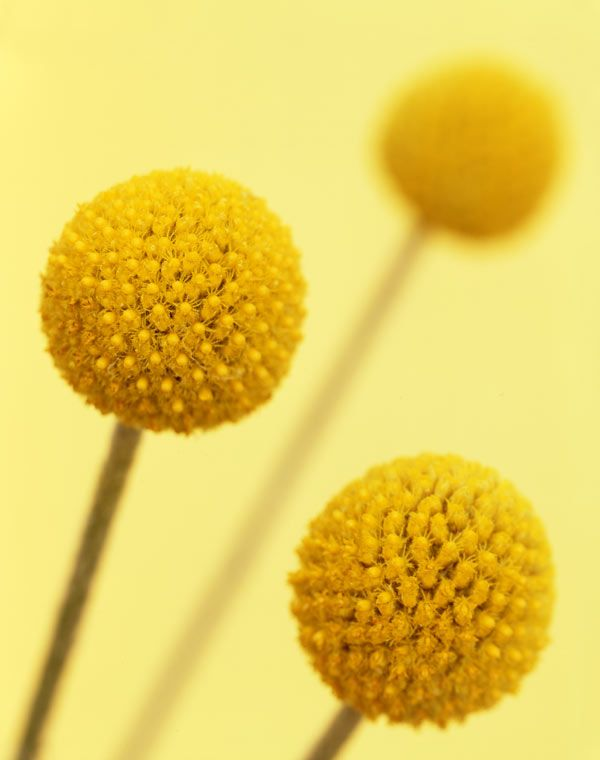Google Image Result For Http 1 Bp Blogspot Com Rizn9gk687g Tb Lcx7iq6i Aaaaa Billy Buttons Shades Of Yellow Yellow Photography
