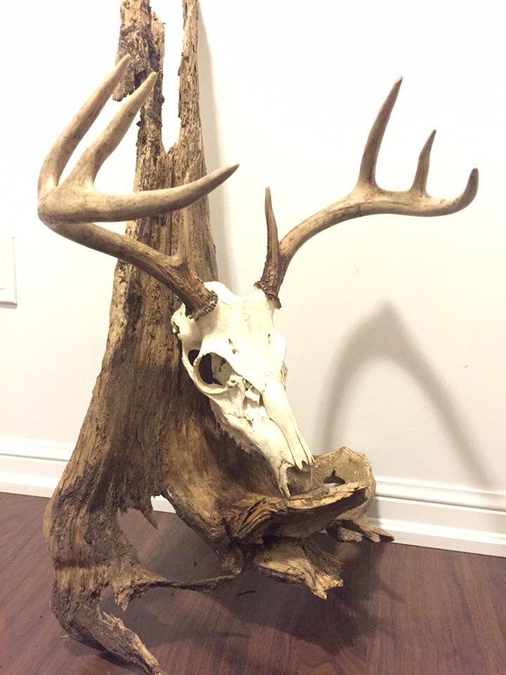 European Deer Skull Antler Mount With Driftwood Deer Hunting Decor European Mounts Deer Hunting Decor