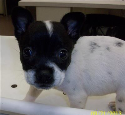 02/11/14 Maggie Chihuahua & Rat Terrier Mix • Baby