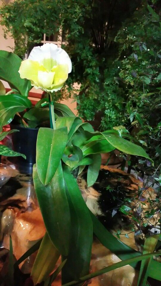 Our Paphiopedilum New To Our Sunroom Purchased At Rocket Farms In Half Moon Bay Ca 2016 Paphiopedilum Orchids Half Moon Bay