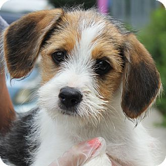wirehaired terrier beagle mix puppy | Furry Babies ...