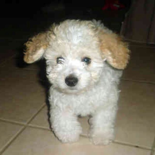 Teacup Poodle Blond I Want This Dog Poodle Puppy White Toy