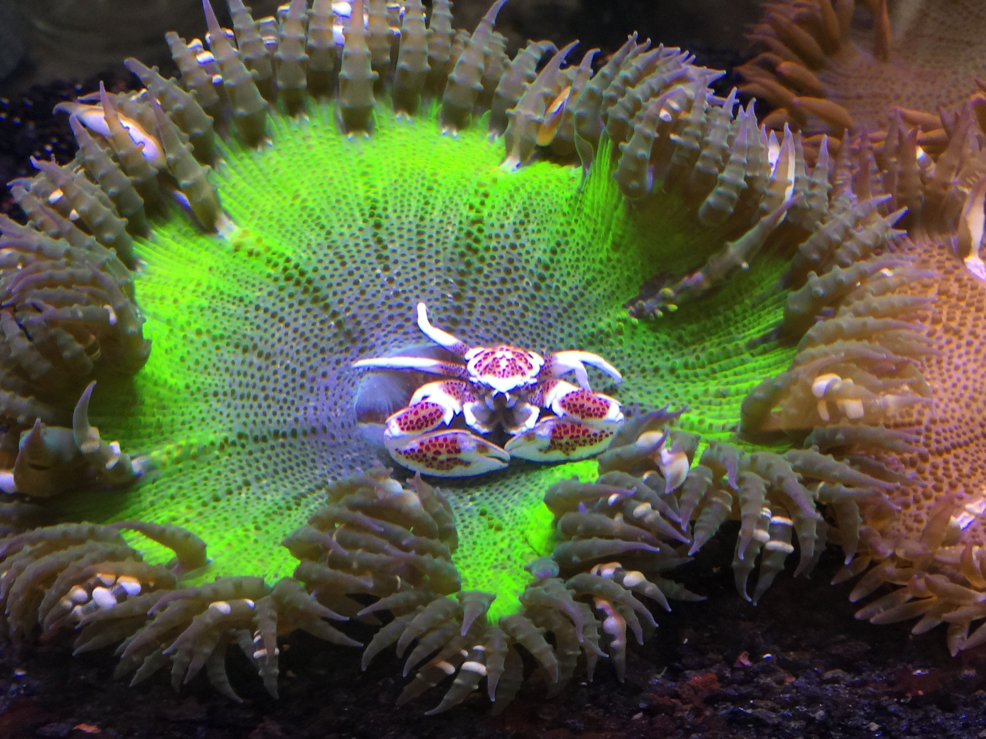 Rock Flower Anemone A Porcelain Crab Coral Reef Aquarium Reef Tank Reef Aquarium
