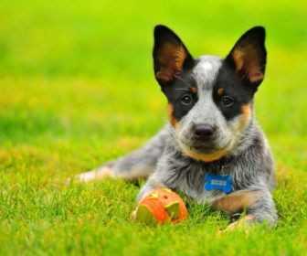 Best Cute Puppy Australian Cattle Dog Pictures Best Cute Puppy Pictures Dogs