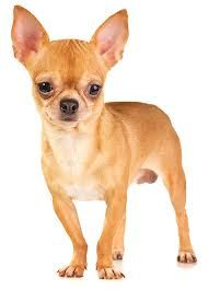 Chihuahua Love The Wrinkles On It S Head Chihuahua Dogs