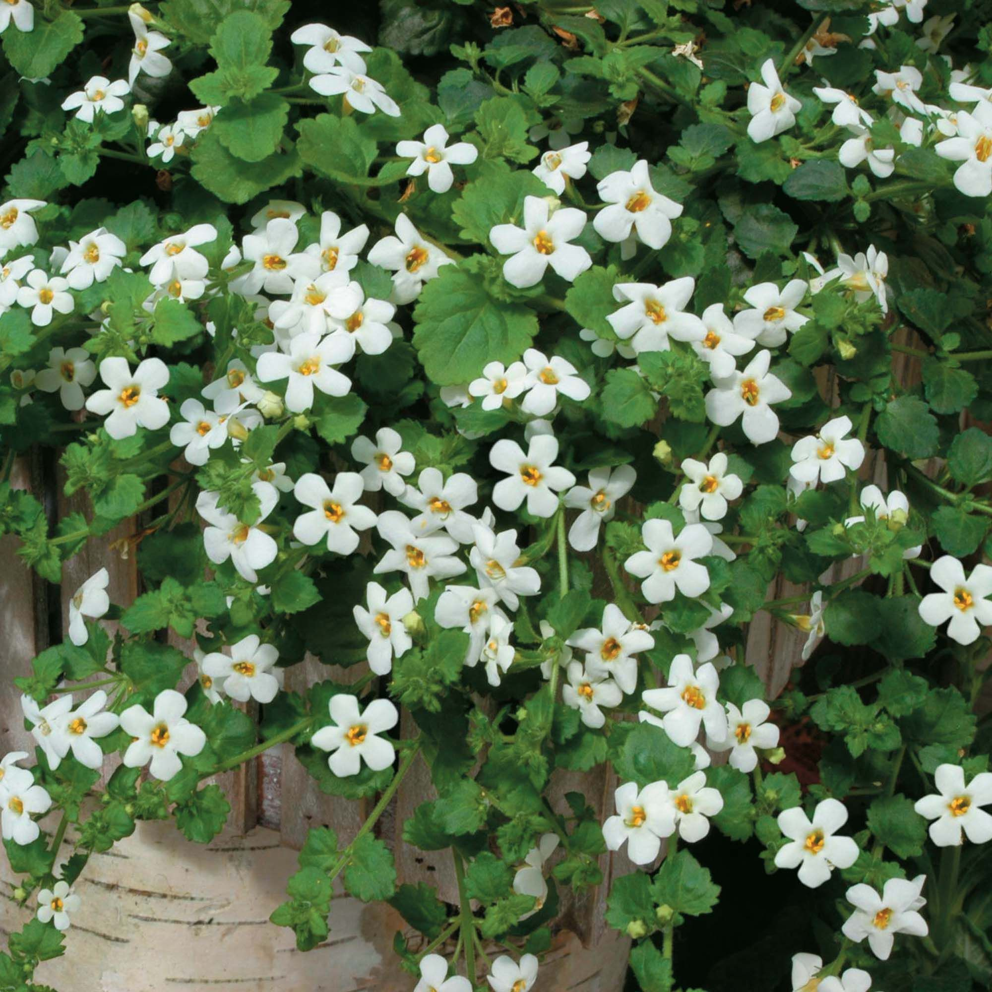Bacopa cordata snowtopia white half hardy annual seeds at last available from seed bacopa snowtopia is a super long blooming trailing annual that sends forth small white blooms from spring through fall izmirmasajfo Images