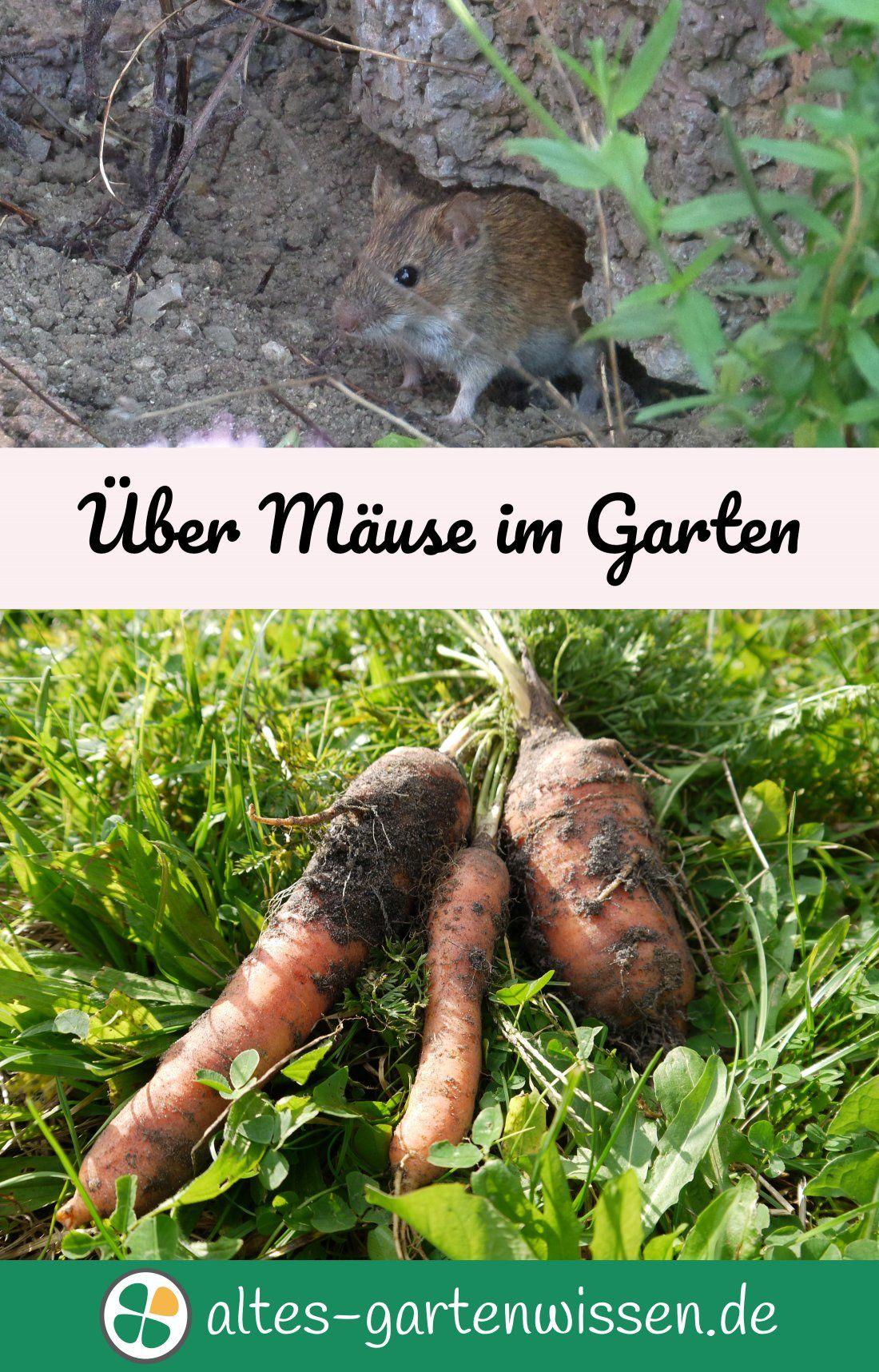 Maus Ist Nicht Gleich Maus. Es Gibt Viele Arten, Die Sich Im Garten  Ansiedeln