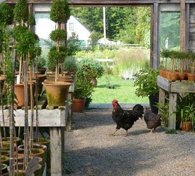 Photo of A pair of chickens, 'free range' through the manicured topiary.