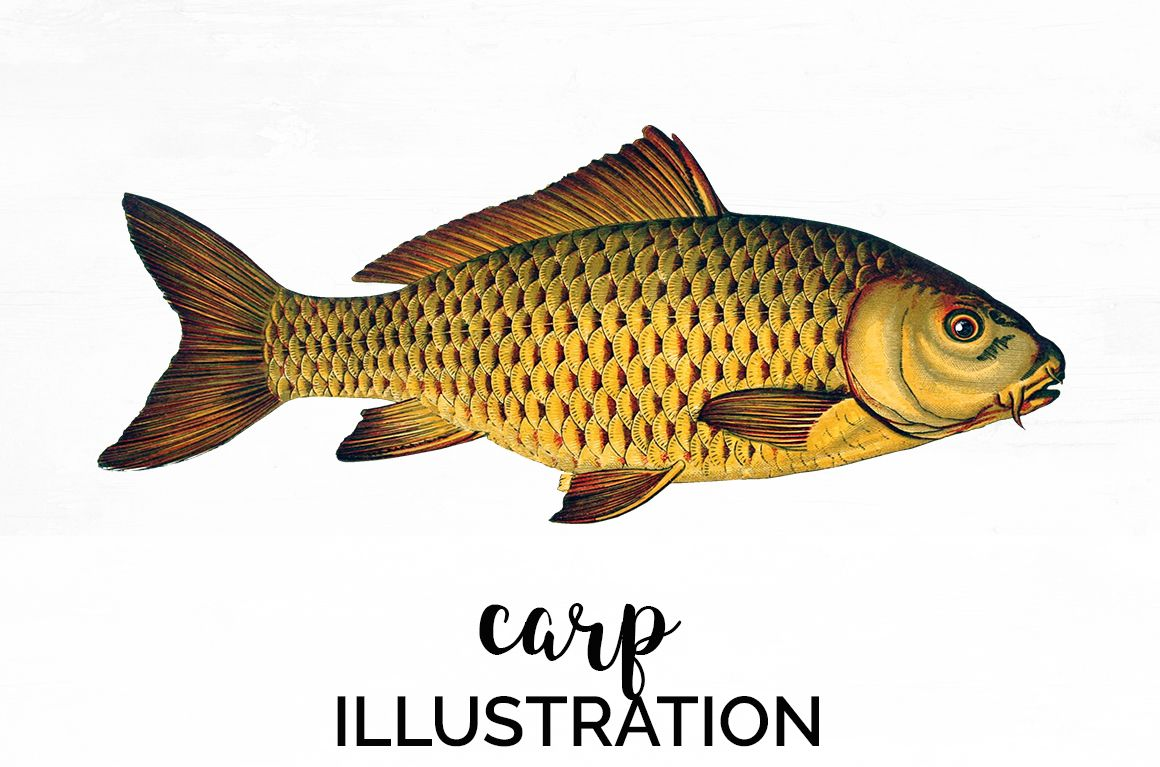 Carp Fish Illustration Vintage Clipart Graphics 1 50 Crella Font Fonts Handwriting Script Graphics Mockups Fish Illustration Watercolor Fish Fish