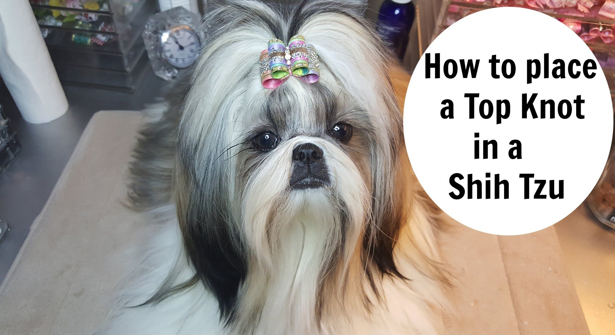 How To Place Topknot In A Shih Tzu Youtube Shih Tzu Grooming Shih Tzu Shih Tzu Haircuts