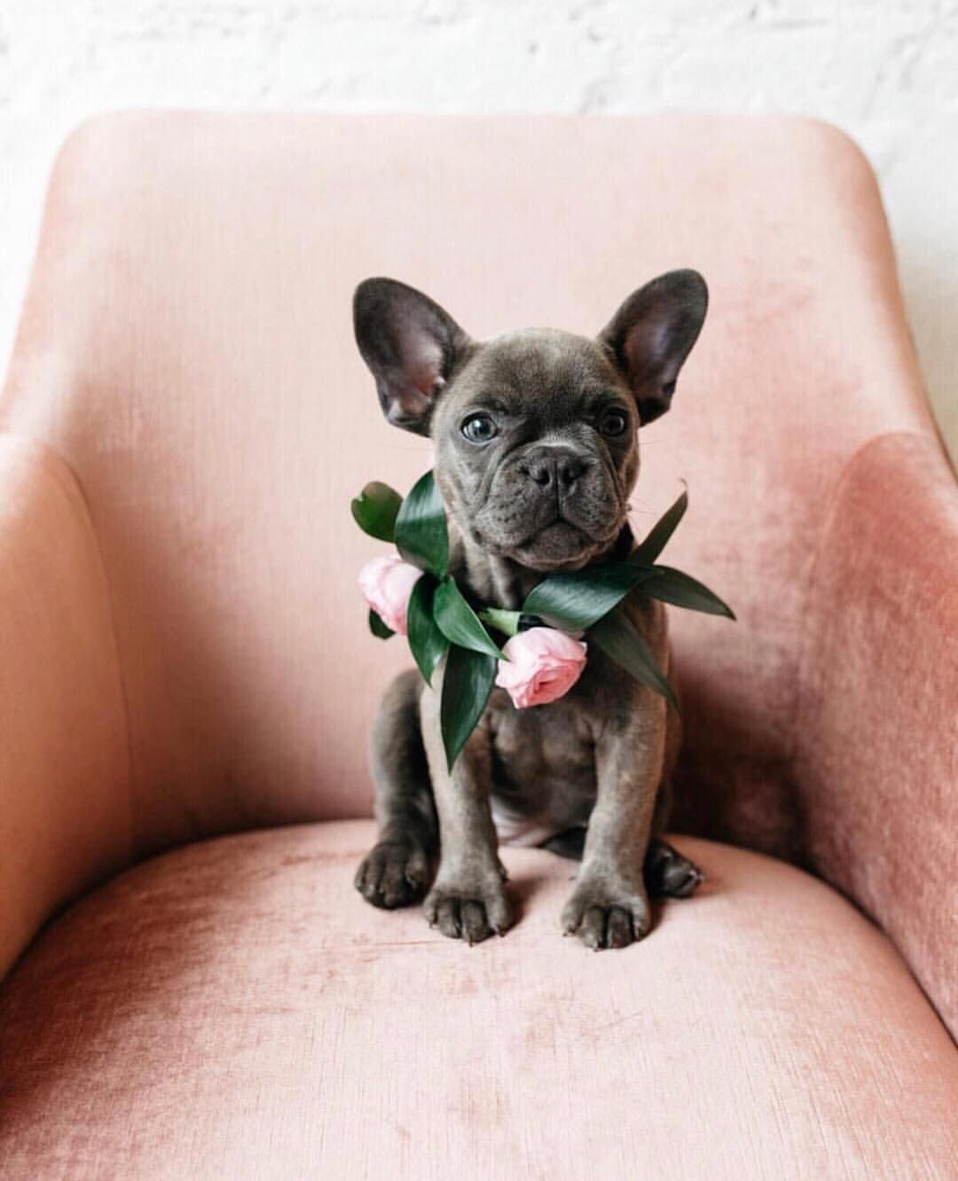 Anthropologie 在 Instagram 上发布 Real Friends Save Your Seat Via Shopparis312 Bulldogs Dog Wedding Bulldog Animals