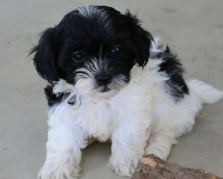 Available Puppies Gallery Welcome To Liz Shih Tzu Puppies In 2020 Puppies Shih Tzu Shitzu Puppies