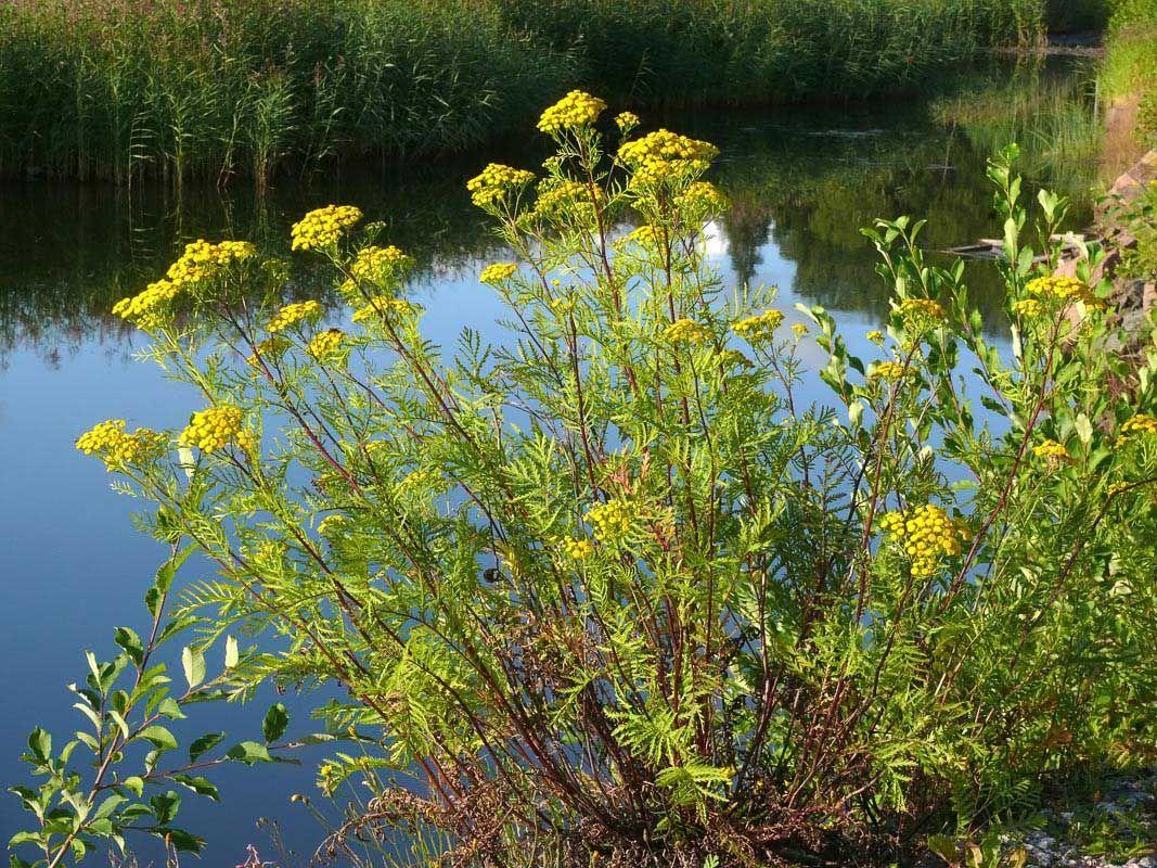Pietaryrtti, Tanacetum vulgare - Kukkakasvit - LuontoPortti
